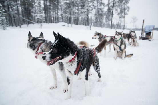 Dog sledding on Lake Inari, in the Arctic Circle, Nellim, Finland