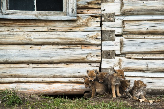 Fox pups near Mormon Row, Grand Teton National Park, Wyoming