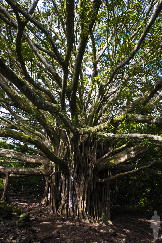 Banyan Tree; Maui, Hawaii